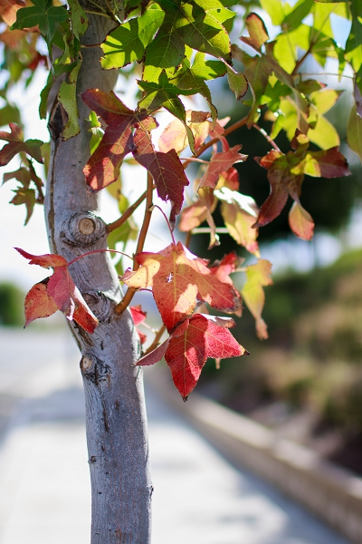 los angeles autumn fall leaves changing photo